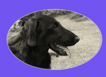 Indy (Flatcoated Retriever)