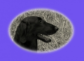 J.J. (Flatcoated Retriever)