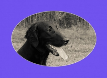 Janis (Flatcoated Retriever)