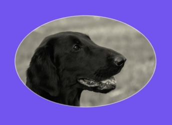 Jayla (Flatcoated Retriever)