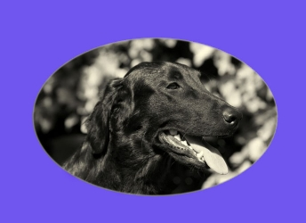 Jessy (Flatcoated Retriever)