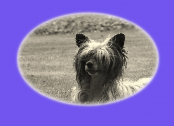Jiggly (Chinese-Crested Powderpuff)