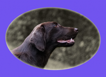 JoJo (Flatcoated Retriever)