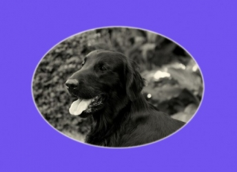 Joep (Flatcoated Retriever)