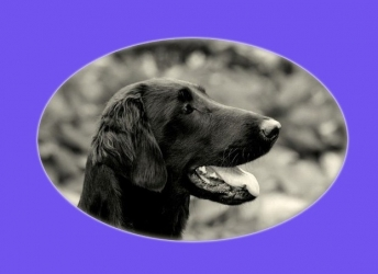 Jolene (Flatcoated Retriever)