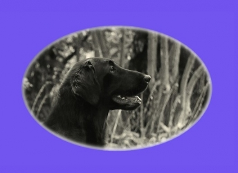 Joplinn (Flatcoated Retriever)