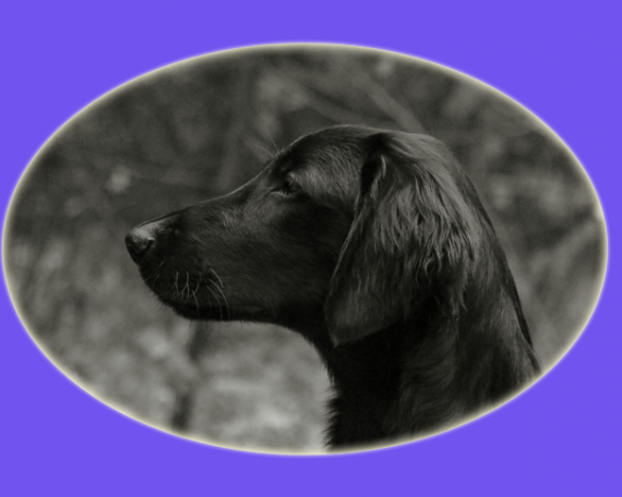 Madoc (Flatcoated Retriever)