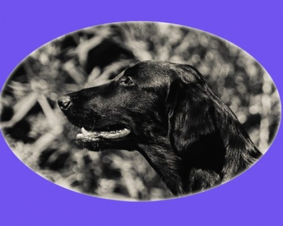 Marlow (Flatcoated Retriever)