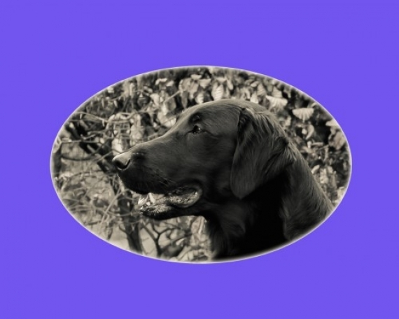 Morgan (Flatcoated Retriever)