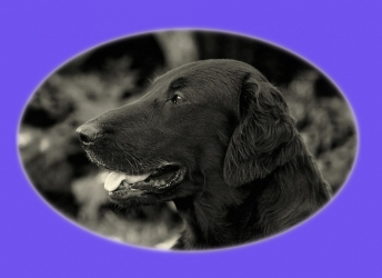 Morris (Flatcoated Retriever)