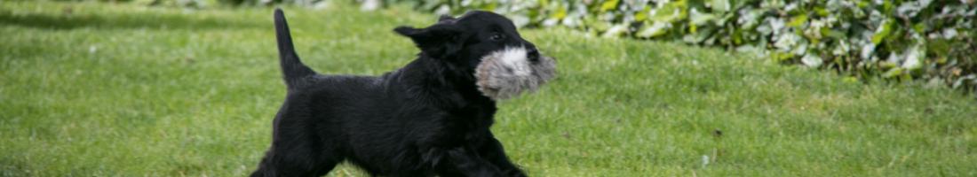Infinity Litter…puppy test!